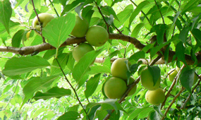 青梅(梅の収穫時期)
