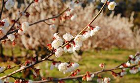 梅の花(開花)