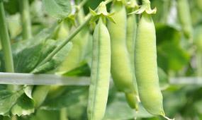 うすいえんどうの栽培