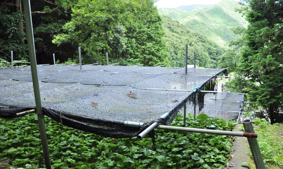 和歌山県印南町川又 わさび栽培風景