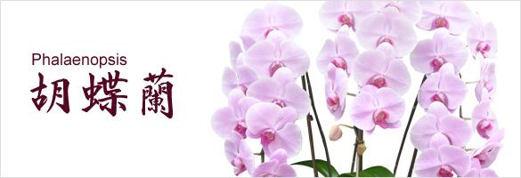 胡蝶蘭 和歌山県産